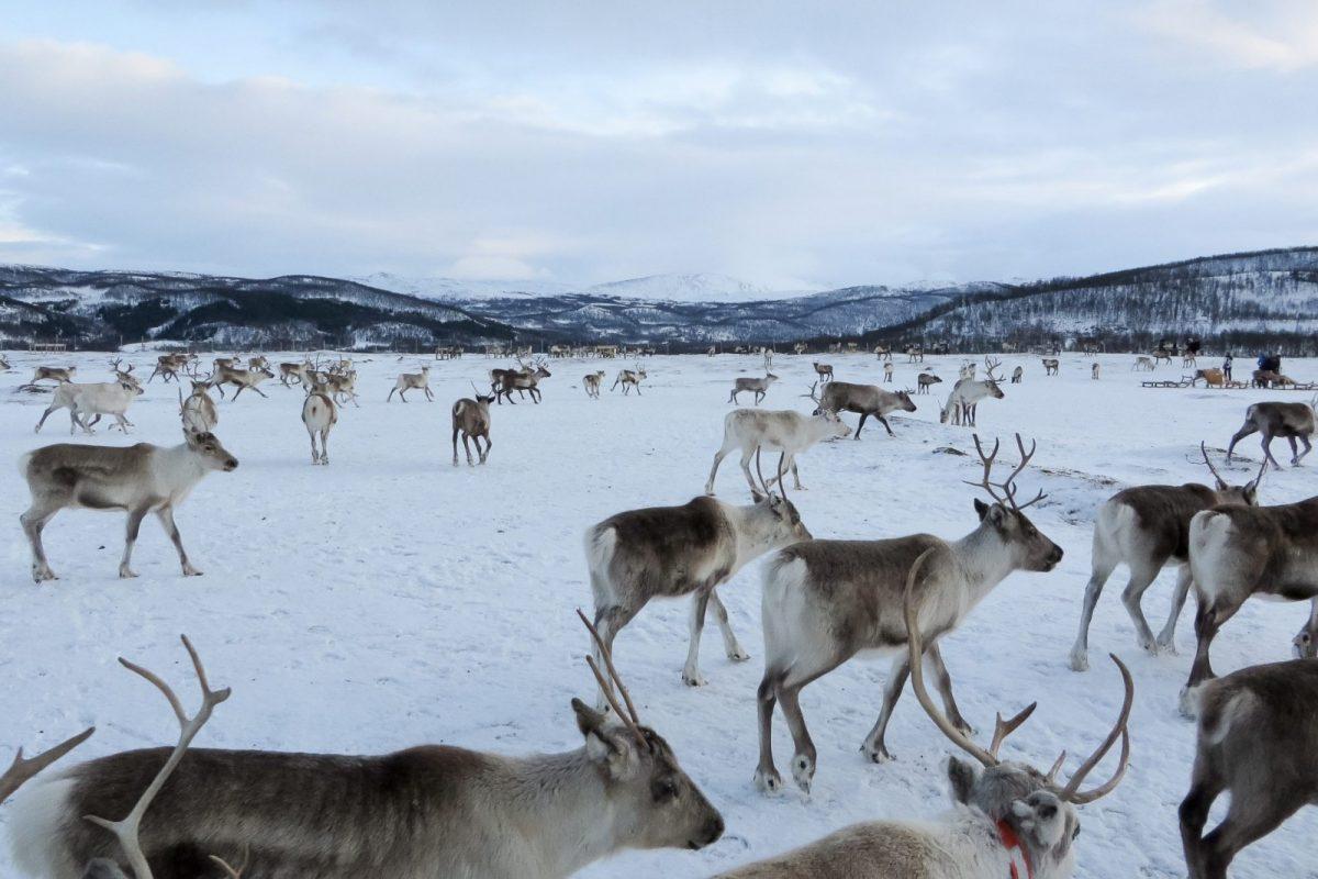 Rendierenfarm Tromsø