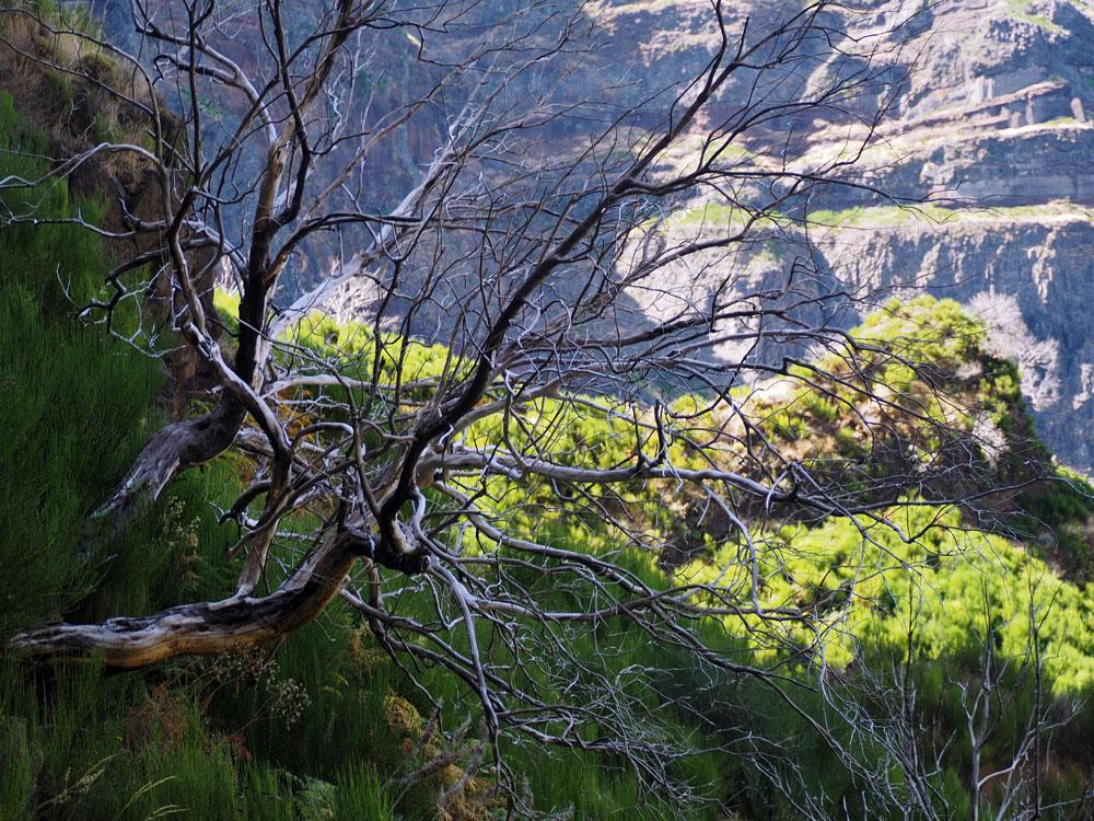 Witte bomen Pico Ruivo route.