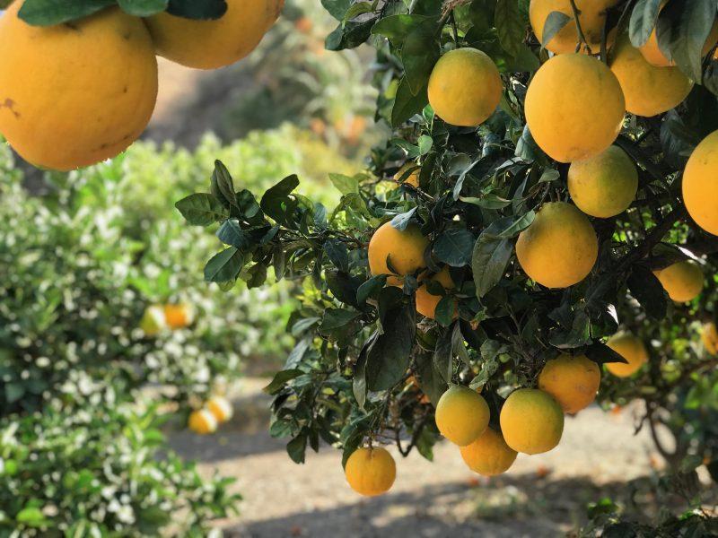 Sinaasappelbomen tot waar het oog reikt