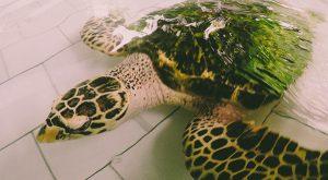 Schildpad in de opvang
