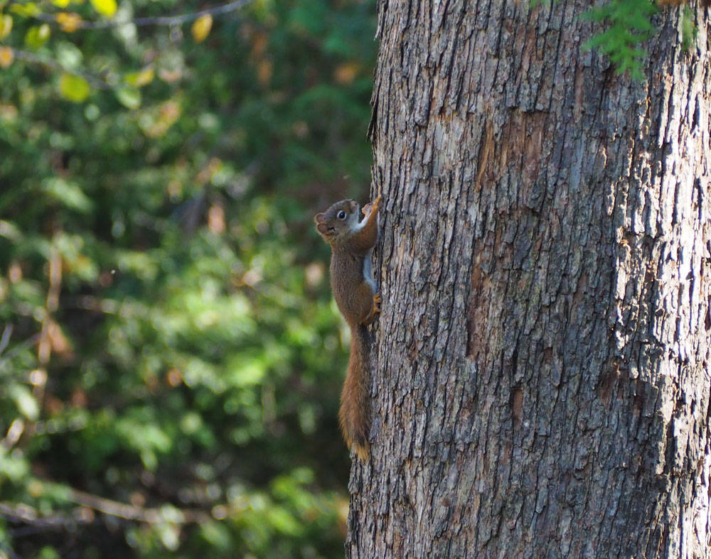 eekhoorn op boom in algonquin provincial park