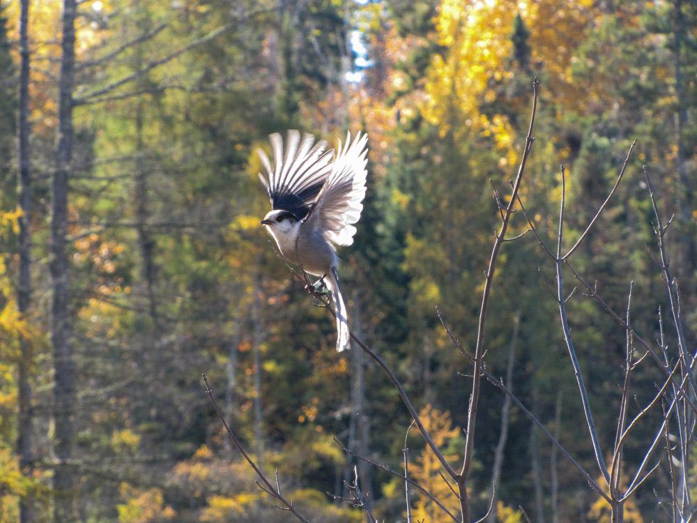 Mizzy Lake Trail grey jay vogel