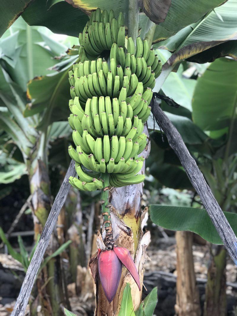 Overal op het eiland zie je bananenplantages