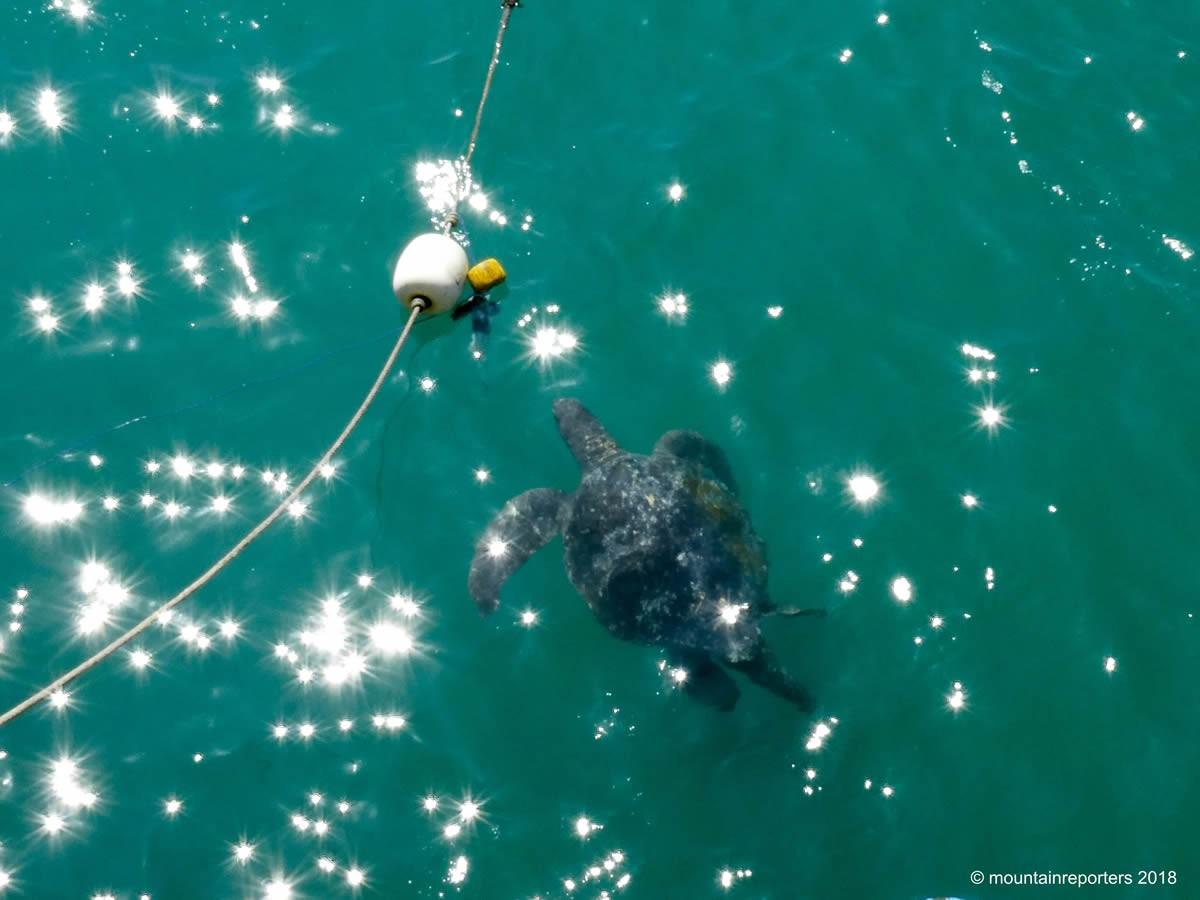 Zeeschildpad Peru