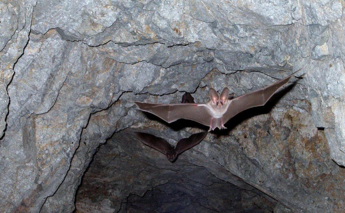 Naast honden en apen zijn vleermuizen regelmatig drager van het Rabiësvirus. Foto: Pixabay