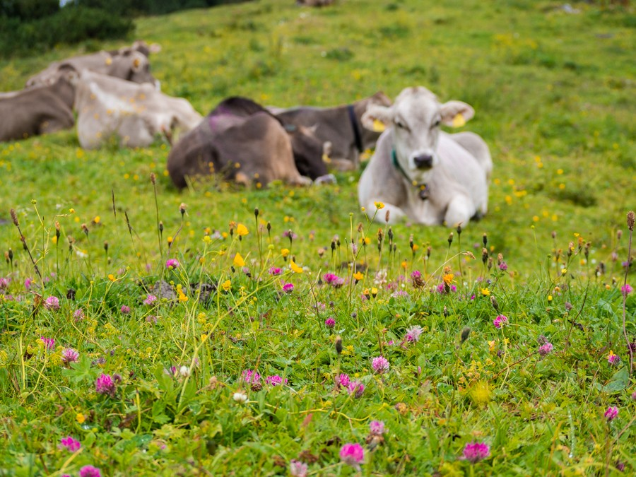 Waidring Steinplatte Pillerseetal wandeling koeien