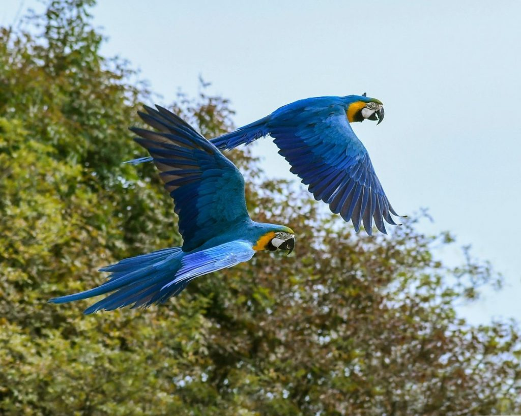 Flying Blue Macaw