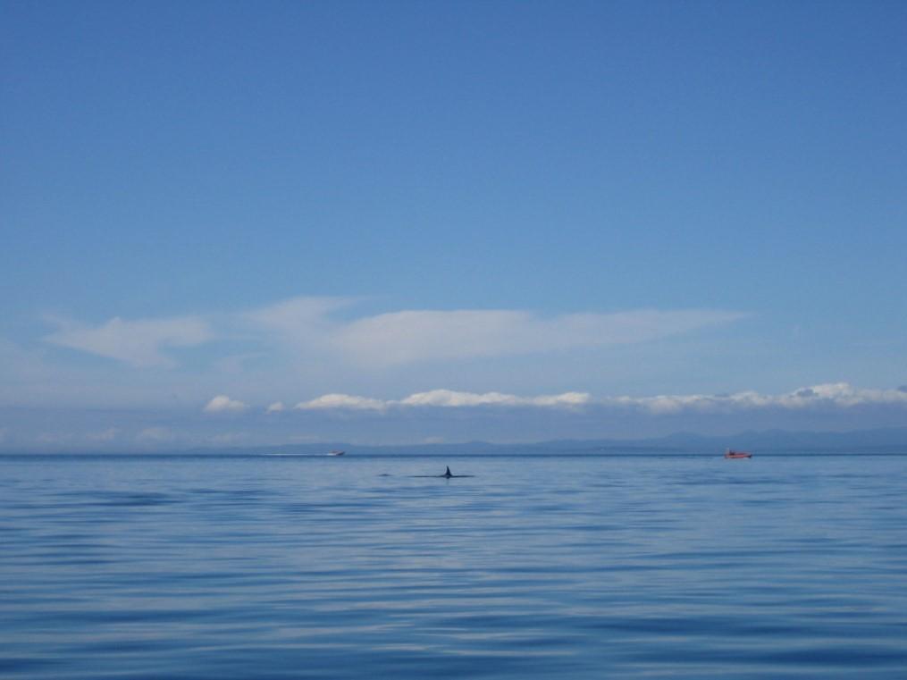Orcas bij Victoria. Eigen foto: Noëlle Verhage