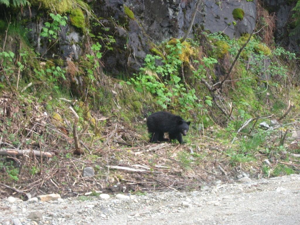 Een kleine beer langs de kant van de weg in Strathcona Provincial Park. Eigen foto: Noëlle Verhage
