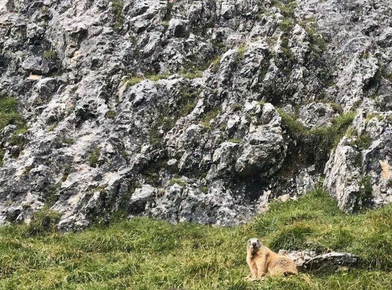 Een marmot op de route