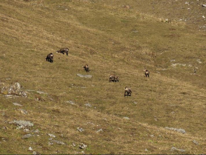 Grazende groep gemzen vanuit de Tilisuna hütte.