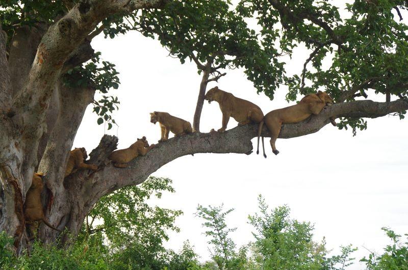 In Queen Elizabeth zijn er genoeg leeuwen in de boom te vinden.