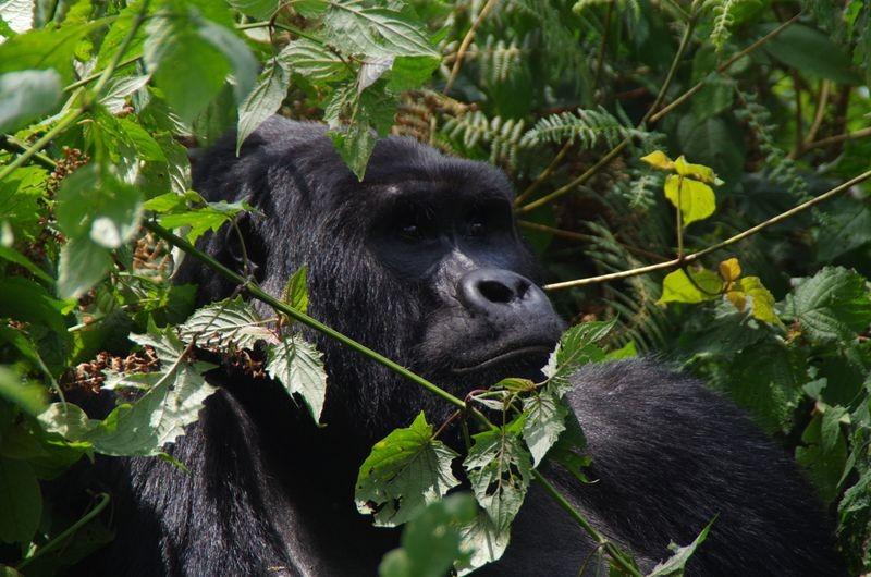 Wat een indrukwekkende dieren zijn gorilla's.