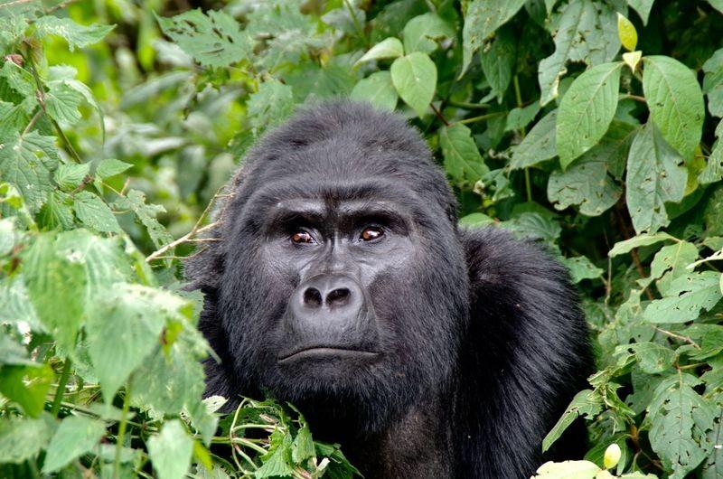 Een gorilla maakt een onuitwisbare indruk
