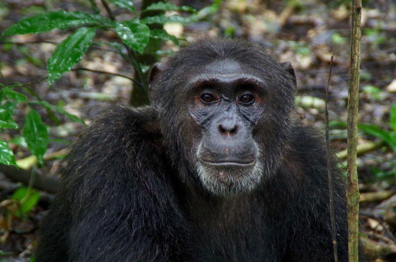 Chimpansees zijn erg vermakelijk om naar te kijken.