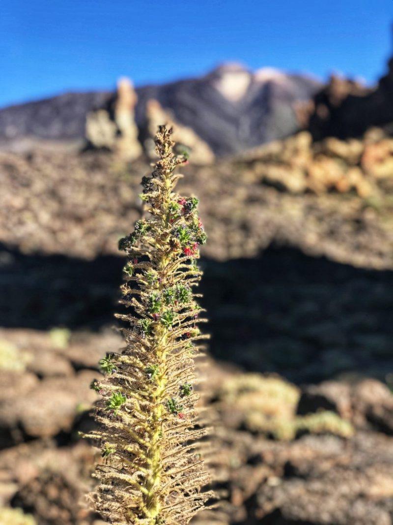 De Echium wildpretii oftewel Tajinaste Rojo: een typische bloem van Tenerife. Om 'm in bloei te zien moet je in de lente of zomer naar het eiland.