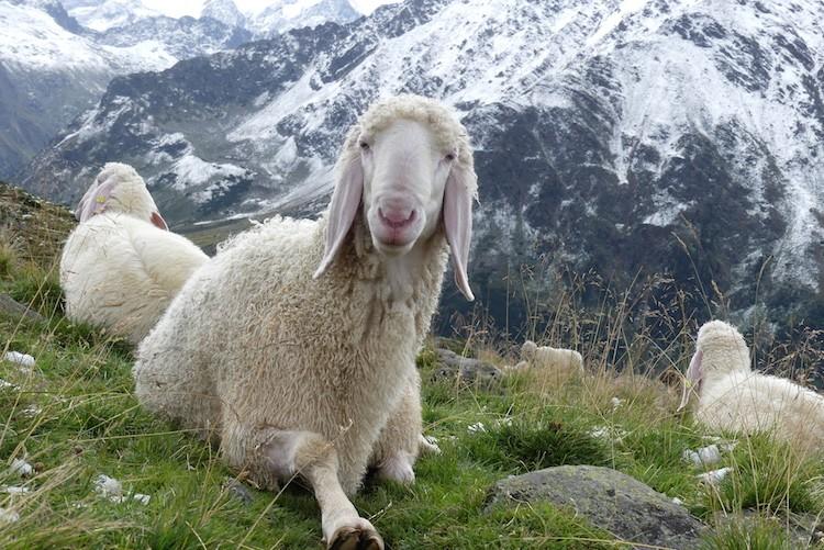 Er waren ook schapen in de Stubaier Alpen bij de Mutterbergersee