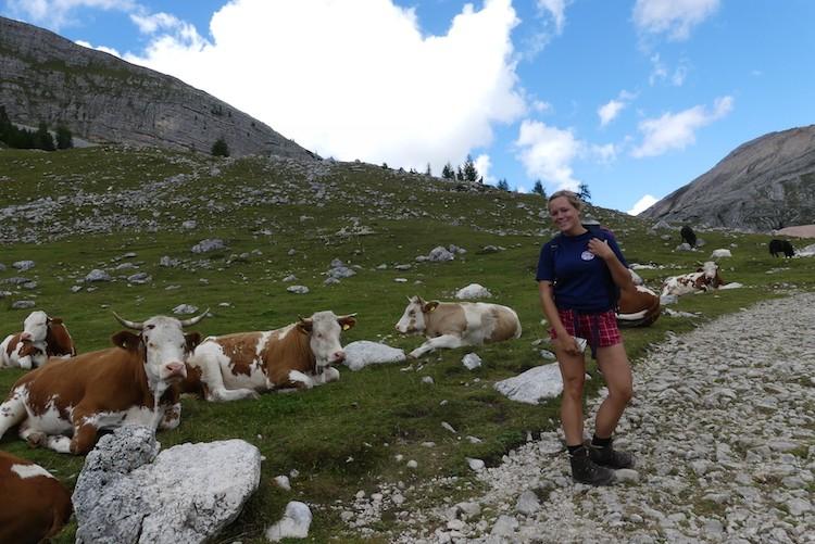 Veel koeien tijdens de huttentocht in de Dolimieten