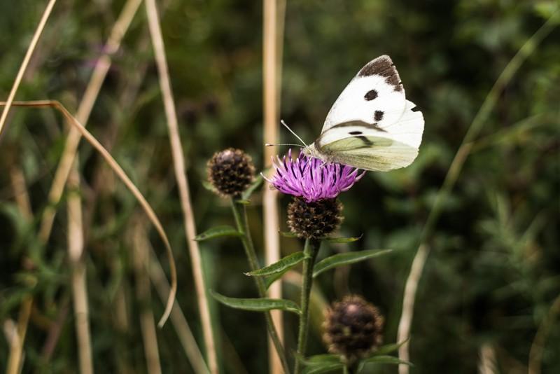 Een foto met het licht mee: zo zijn de kleuren mooi en de vlinder goed en zacht belicht. Foto: Manja Herrebrugh, Mountainreporters