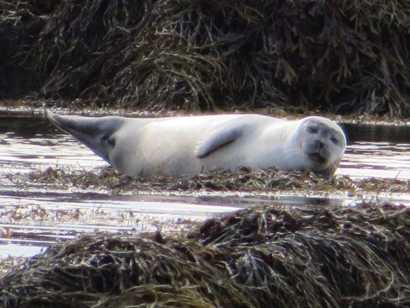 Nog meer zeehondjes