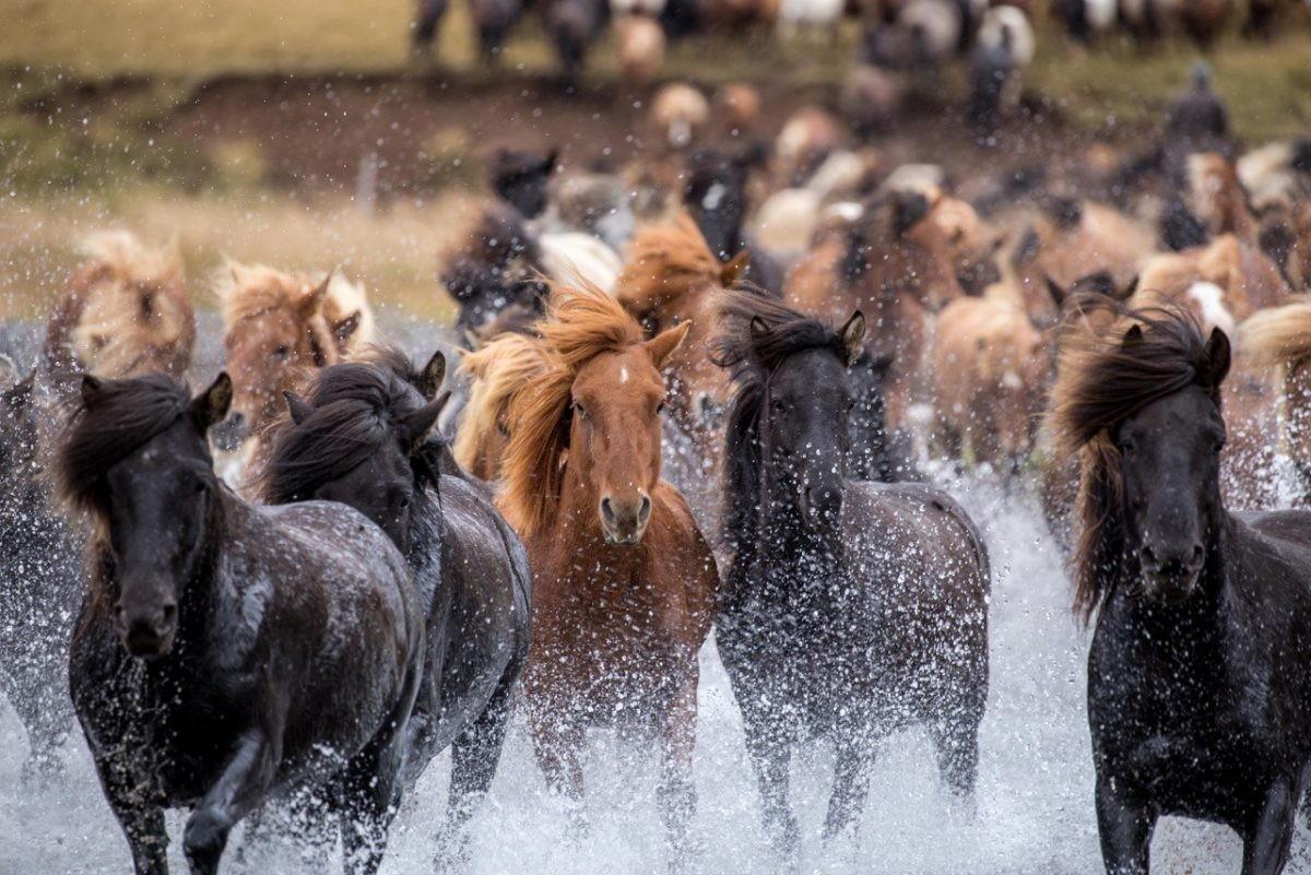 De beroemde IJslanDe beroemde IJslandse paardendse paarden