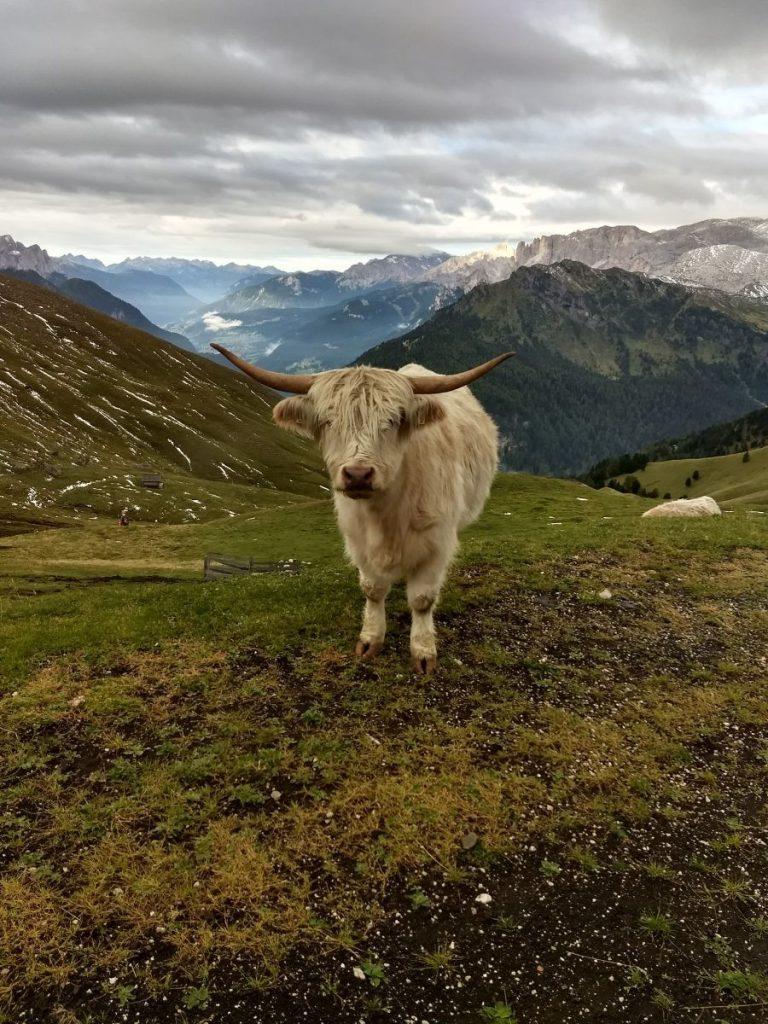 De Schotse hooglanders van de Dolomieten, ze waren niet groot maar de horens wel!. Foto: Sietske Mensing
