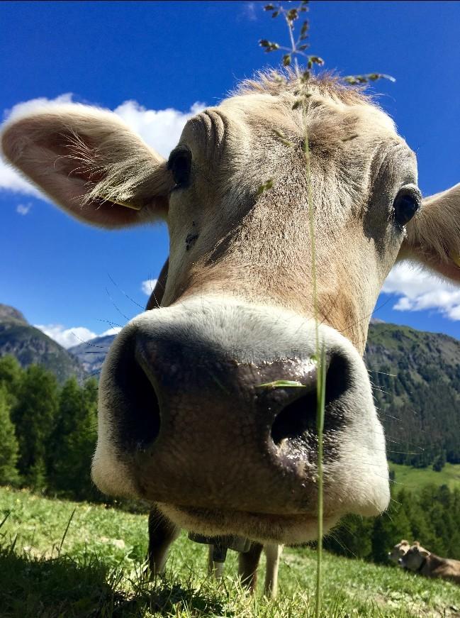 Meestal zijn koeien nieuwsgierig en lief. Foto: Pauline van der Waal