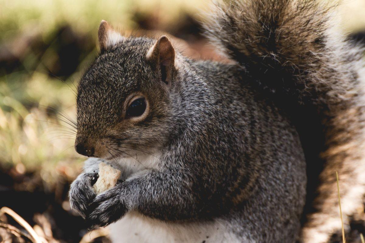 Ook in een stad als Edinburgh kom je bewoners uit de natuur tegen - Foto: PHAROS REIZEN, eekhoorn