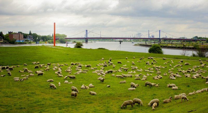 Een kudde schapen graast naast de Rijn en Ruhr