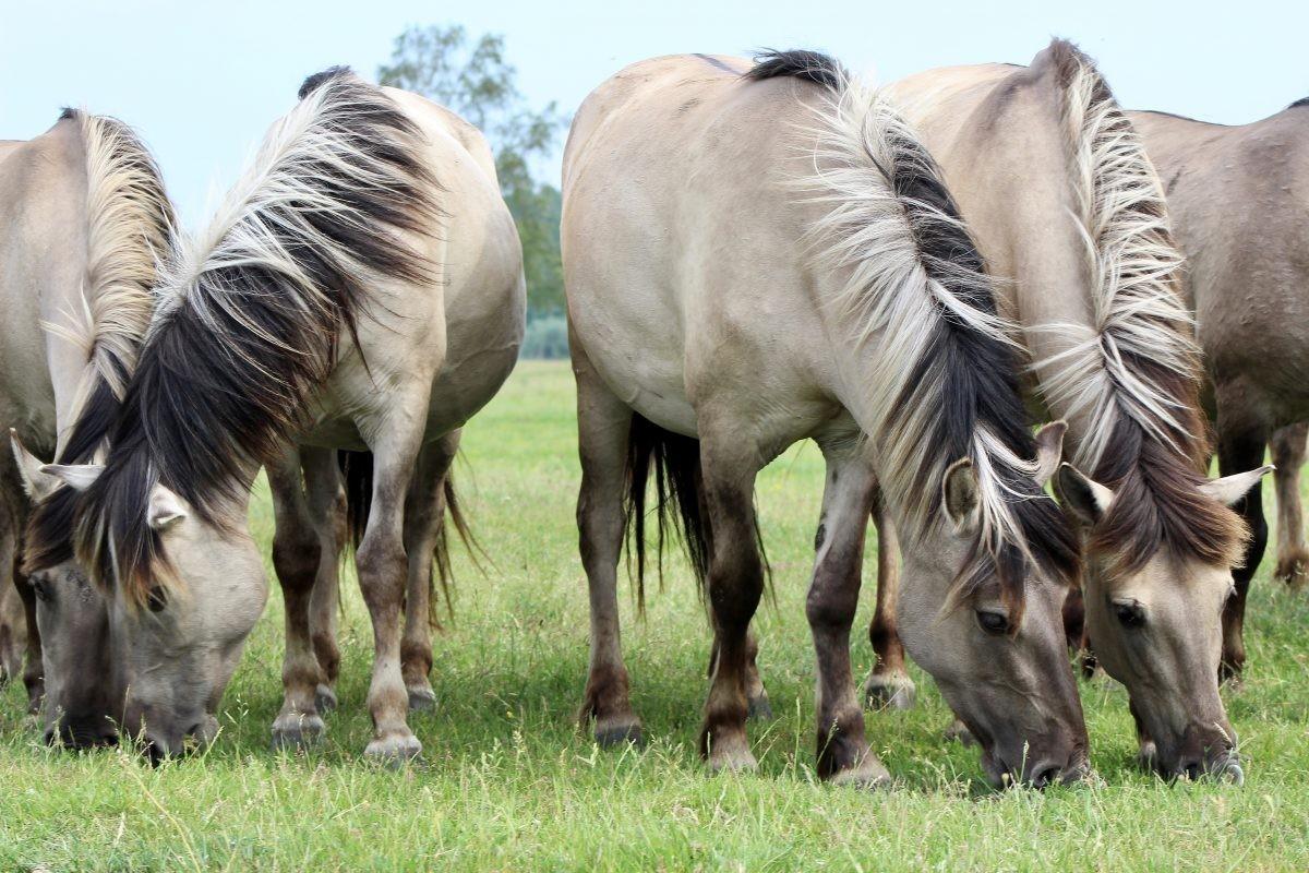 De wilde paarden van Letland