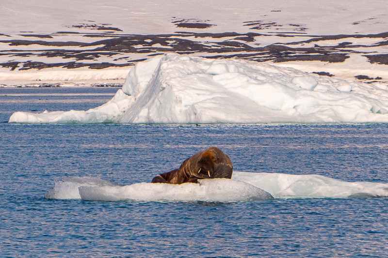 Spitsbergen walrus