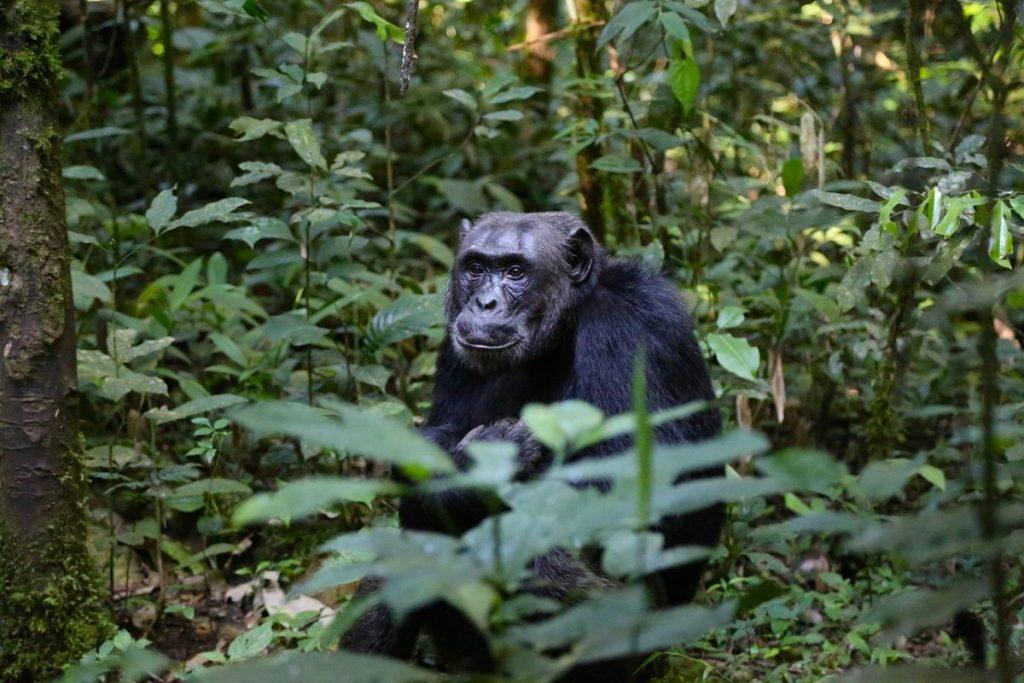 Chimpansee in Uganda. Foto: Pixabay