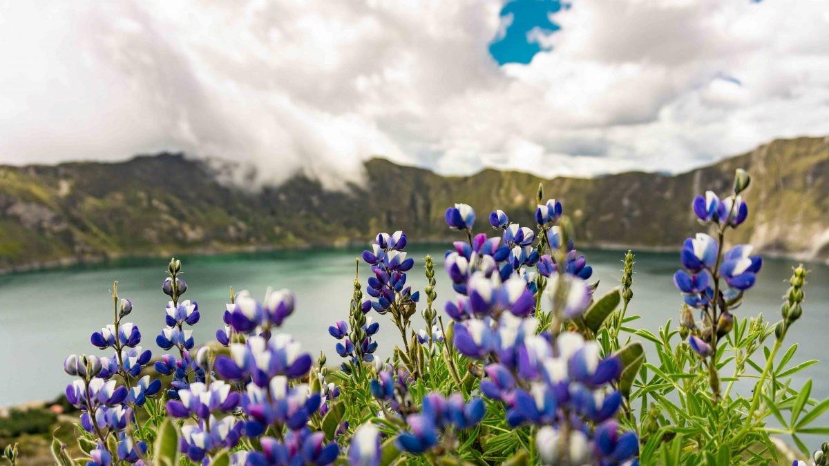 lupine flowers, ecuador