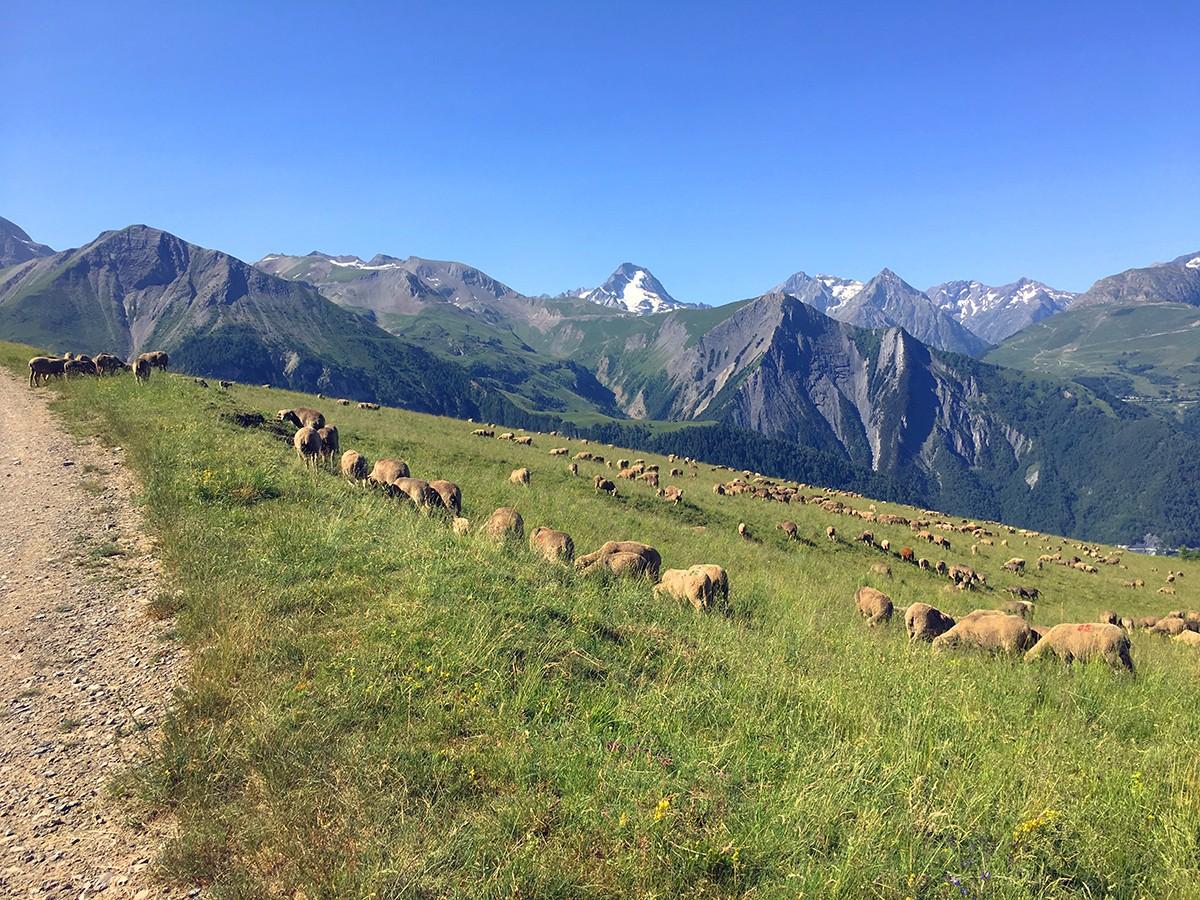 Schapen op de Alpenweide