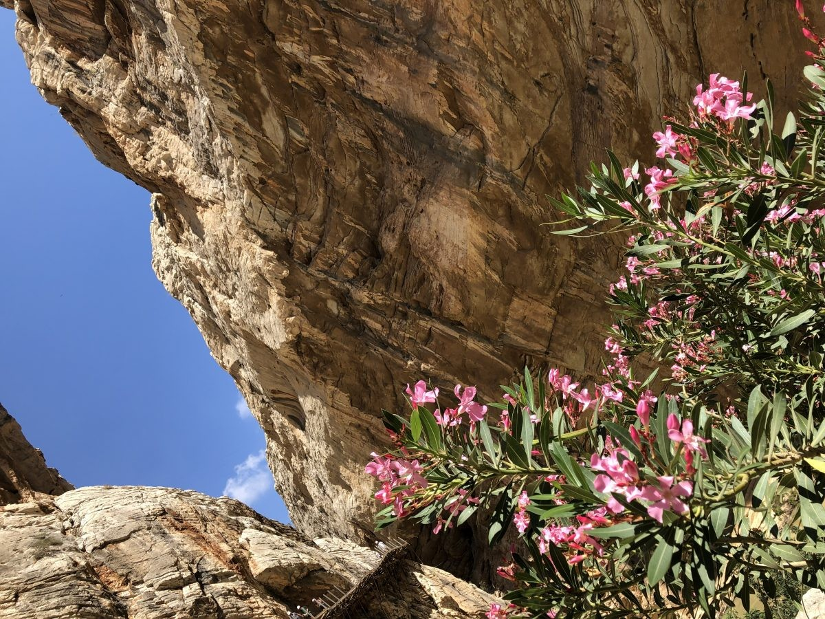 Bloeiende oleander