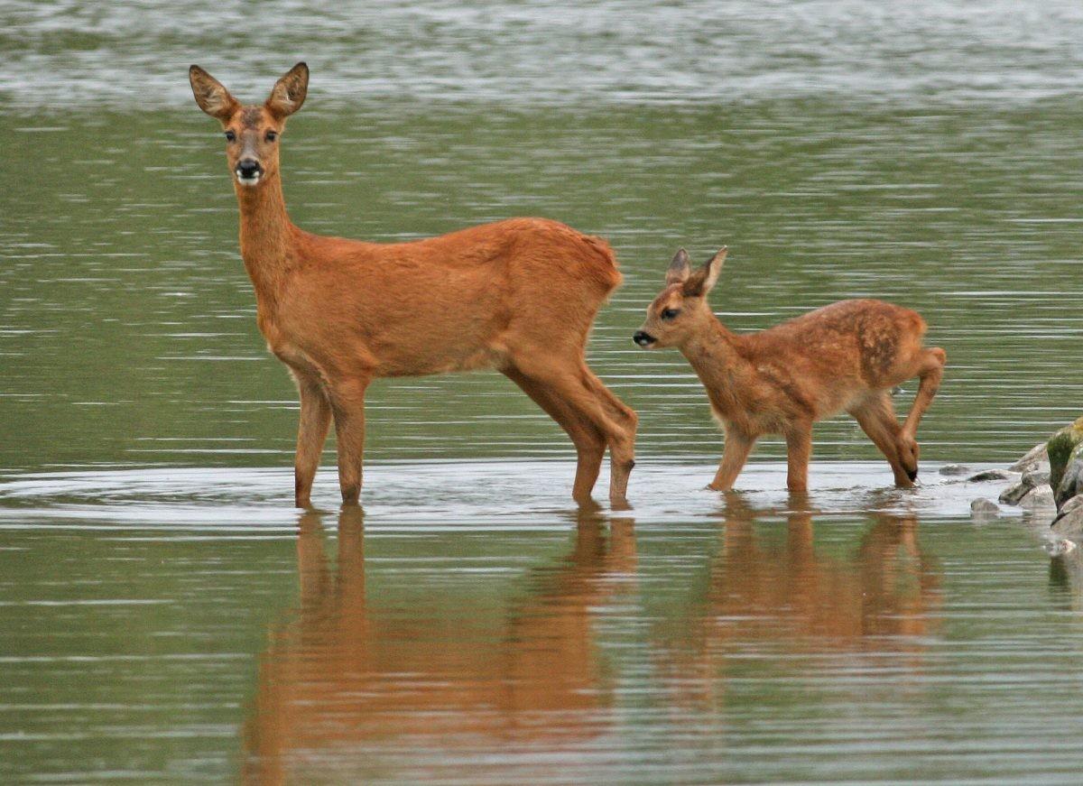 Een ree, een moeder en haar kleintje.