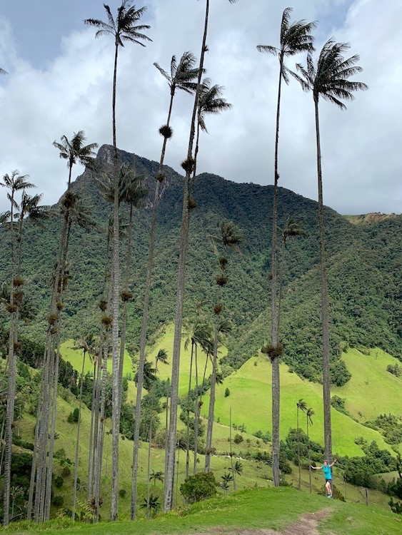 De palmen kunnen tot 60 meter hoog worden. Cocora vallei colombia