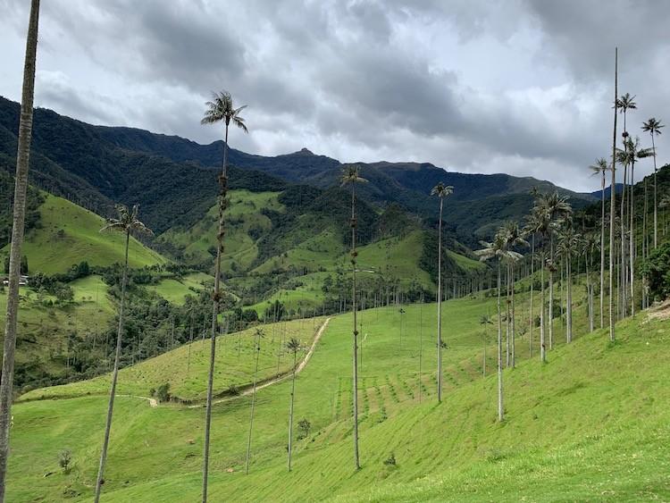 De waspalmen kunnen tot 60 meter hoog worden Cocora Vallei COlombia