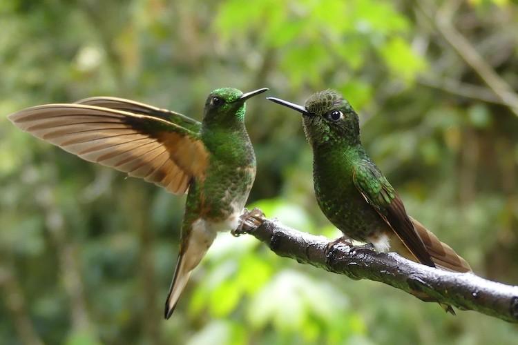 Kolibries Cocora Vallei Valley Colombia