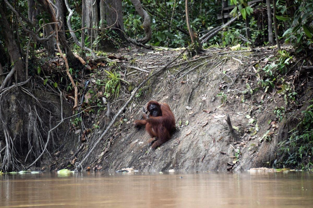 Orang-oetan aan de rand van een rivier op Borneo. Foto: Pixabay