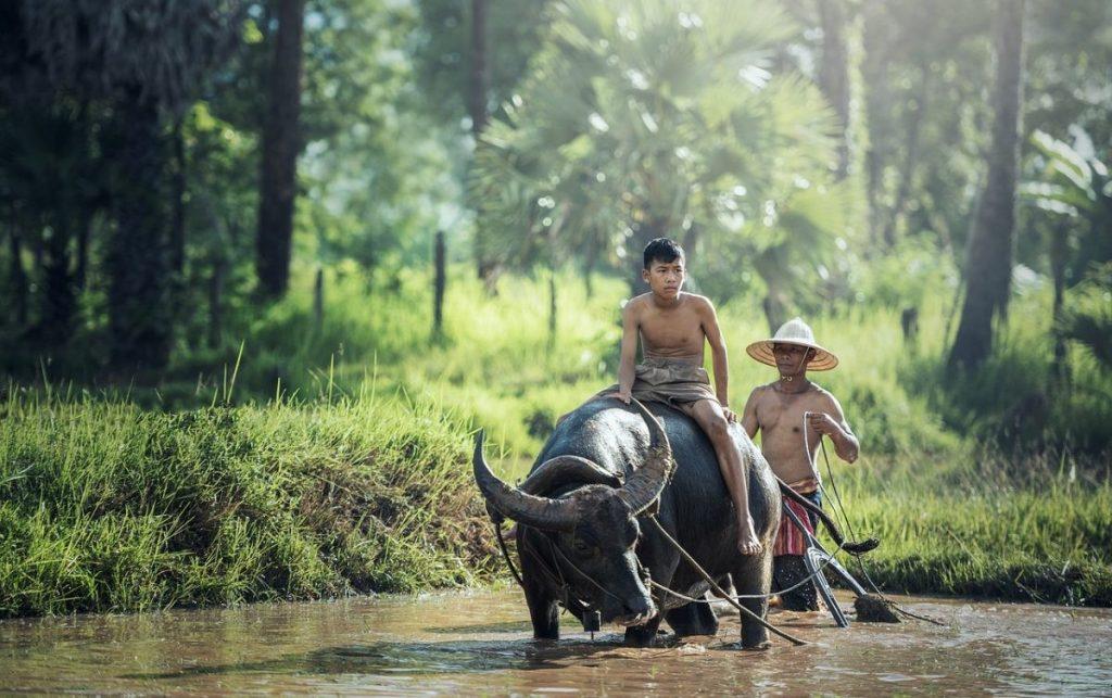 Buffel in Cambodja. Foto: Pixabay