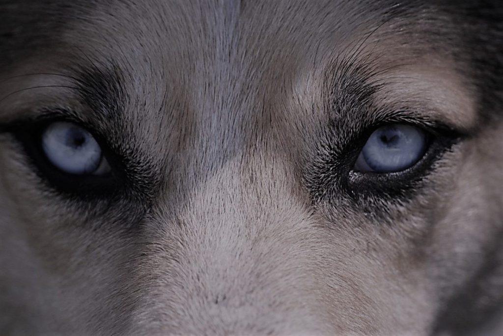 Aangevallen door wolf