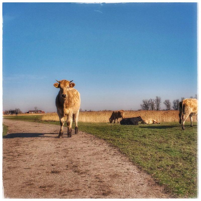 Koe in Het Twiske