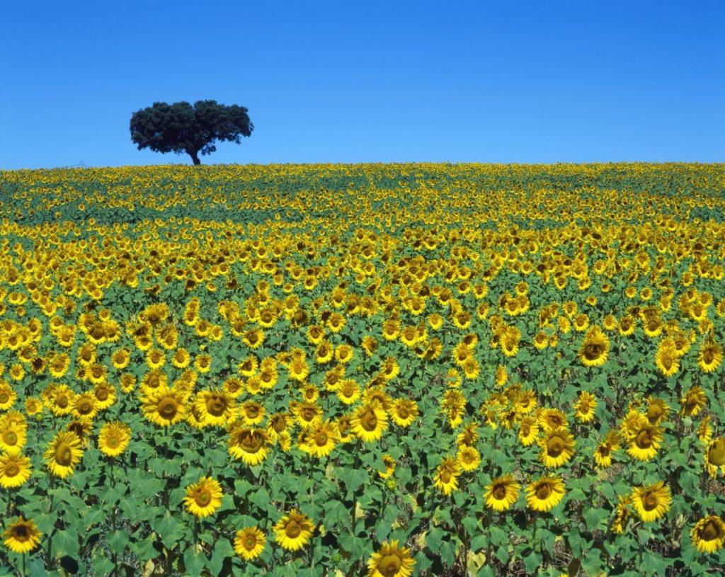 Estremoz, velden vol zonnebloemen
