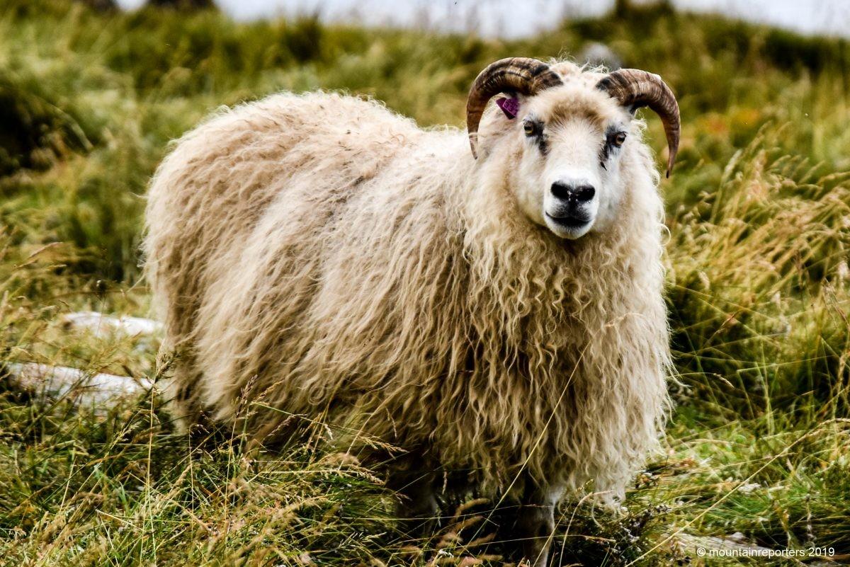 IJslands schaap met de kenmerkende gekromde hoorns