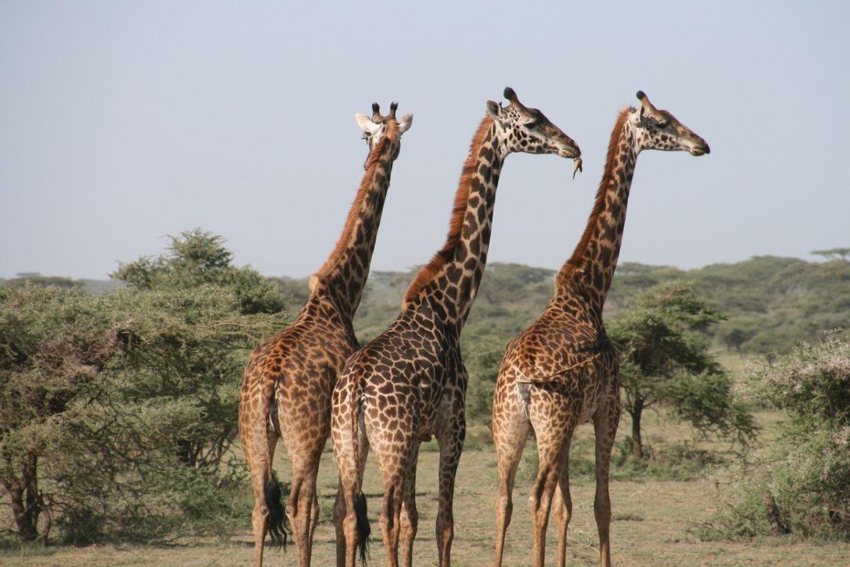 Even langs de Travel Clinic voordat je de giraffes in Tanzania bezoekt. Foto: Pixabay