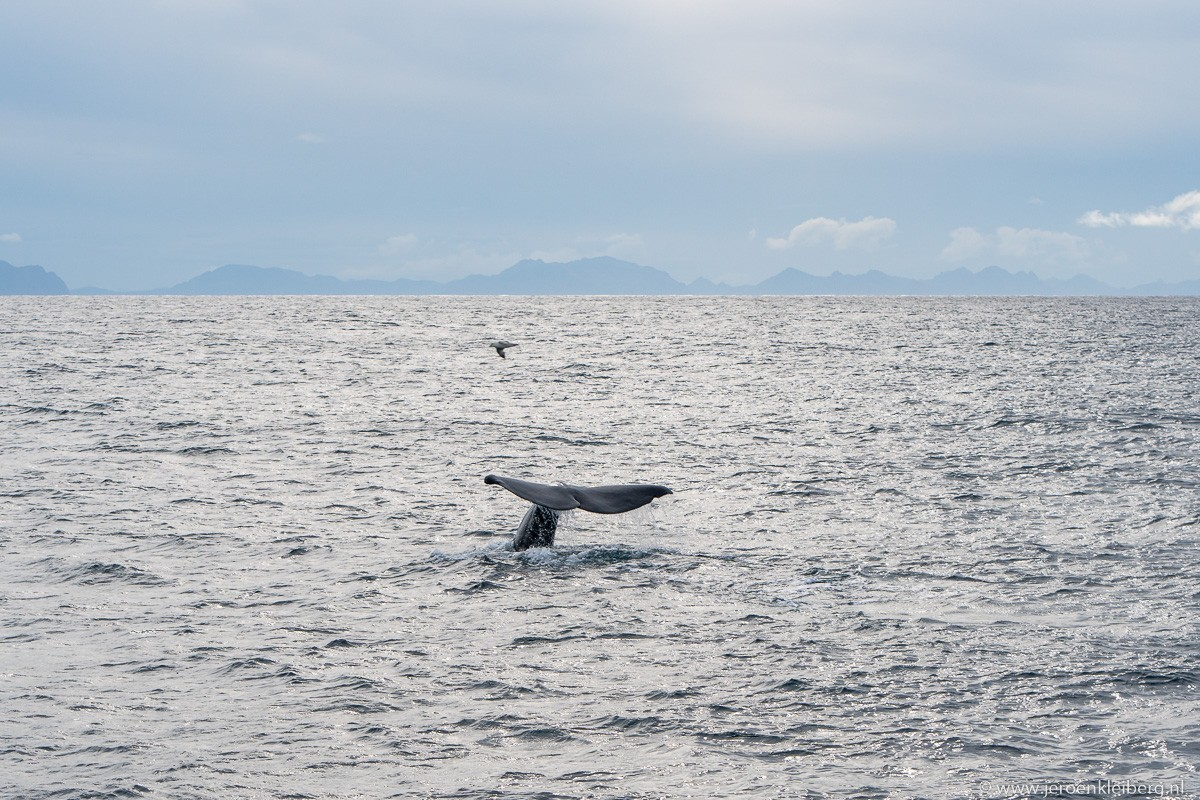 Staart potvis noorwegen