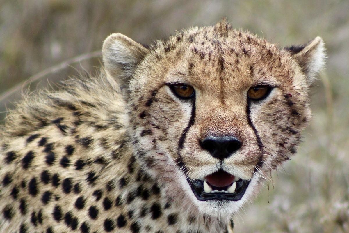 Cheetah Tanzania safari
