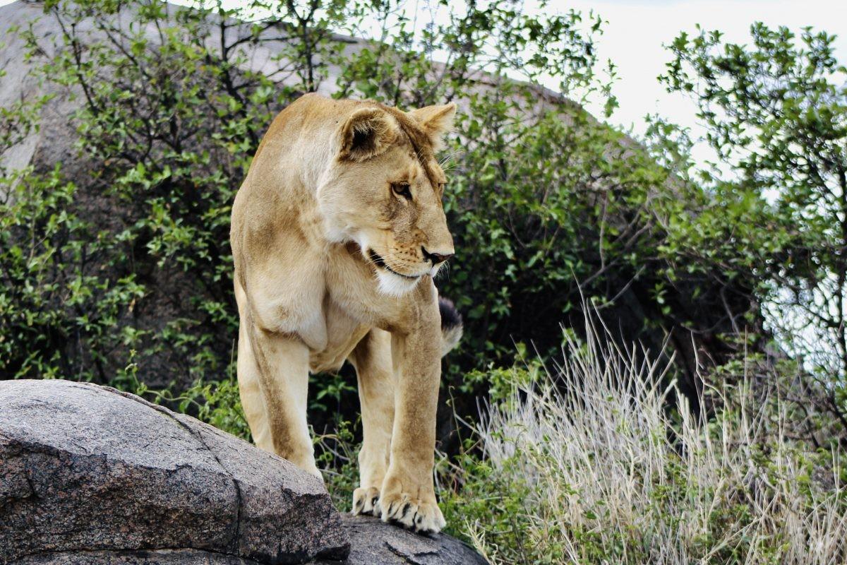 Leeuwen Serengeti Tanzania