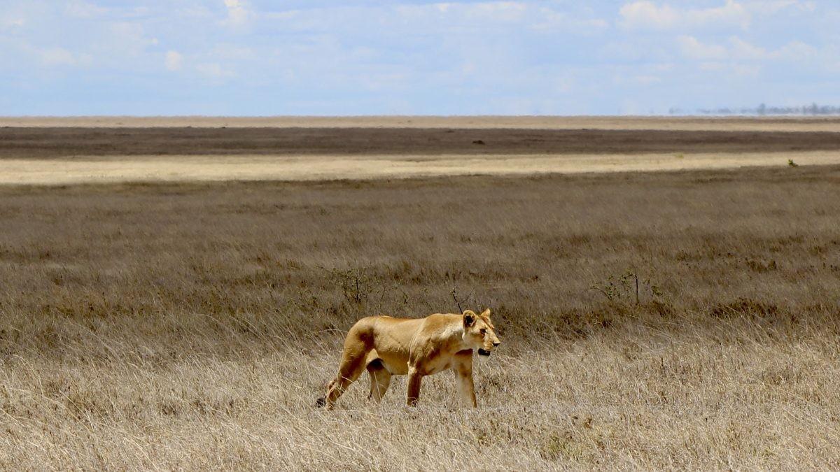 Eenzame leeuwin past prachtig bij de achtergrond in Serengeti. Foto: Pauline van der Waal